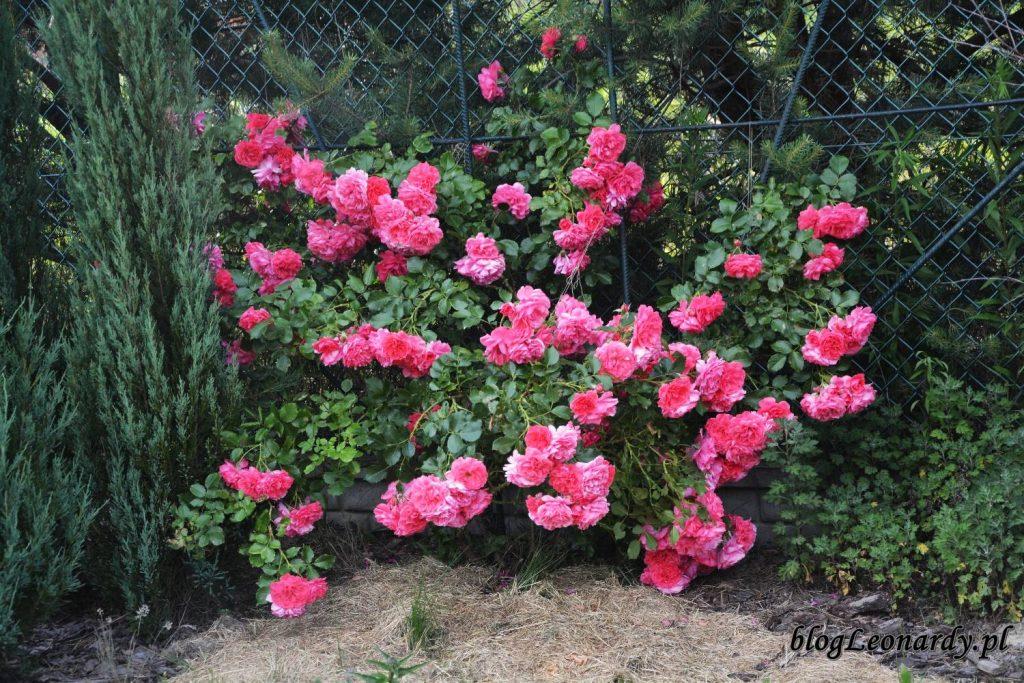 rosarium uetersem