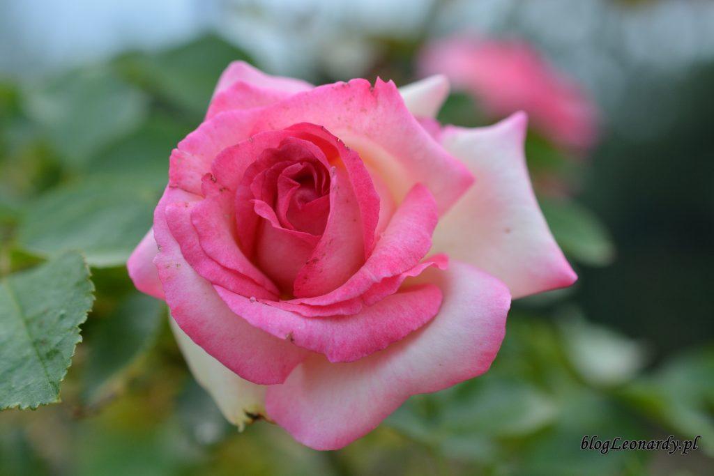 28 tydzieńeden rose 85 (2)