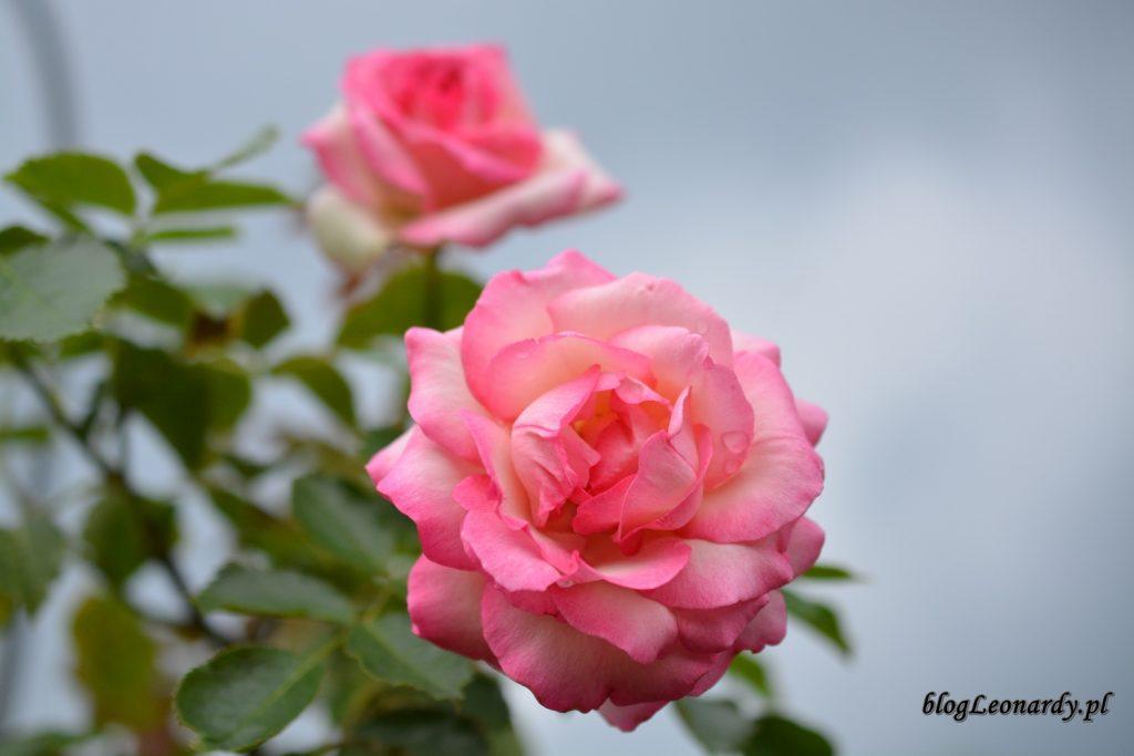 28 tydzieńeden rose 85 (3)