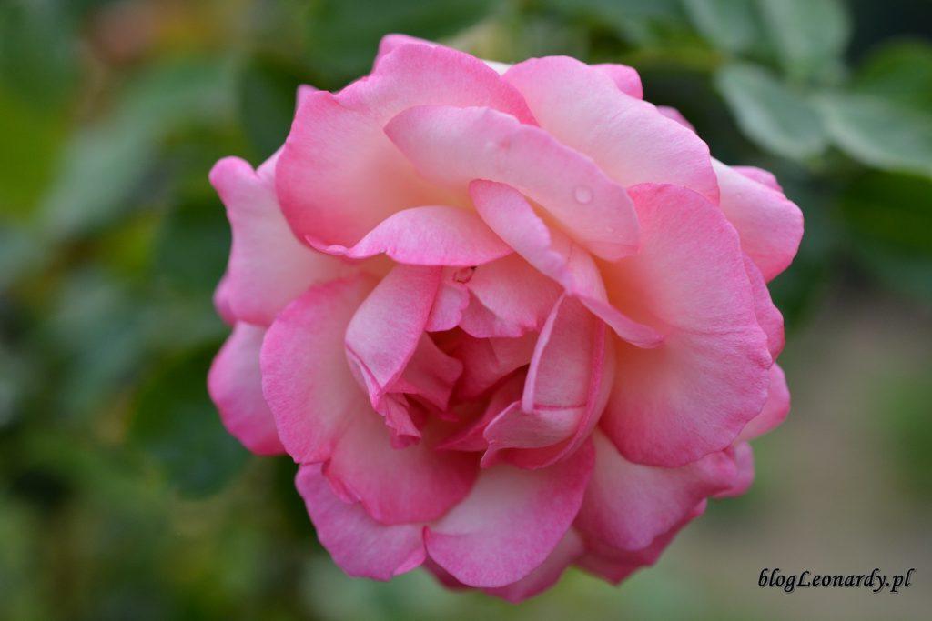 28 tydzieńrozkwitnięta eden rose 85