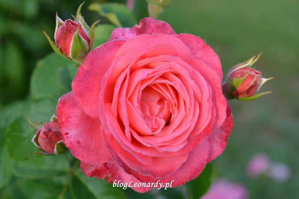 29 tydzień rosanna