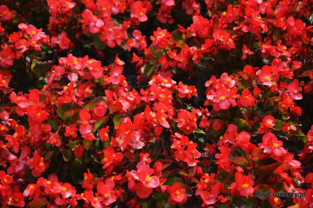 begonie czerwone