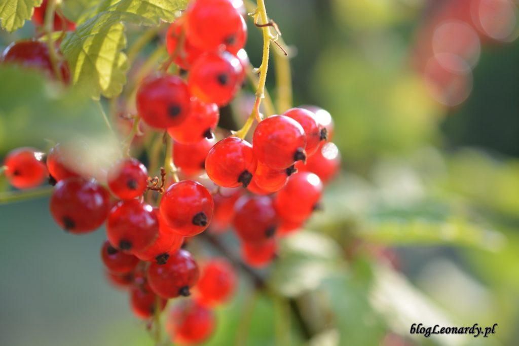 czerwone porzeczki piękne