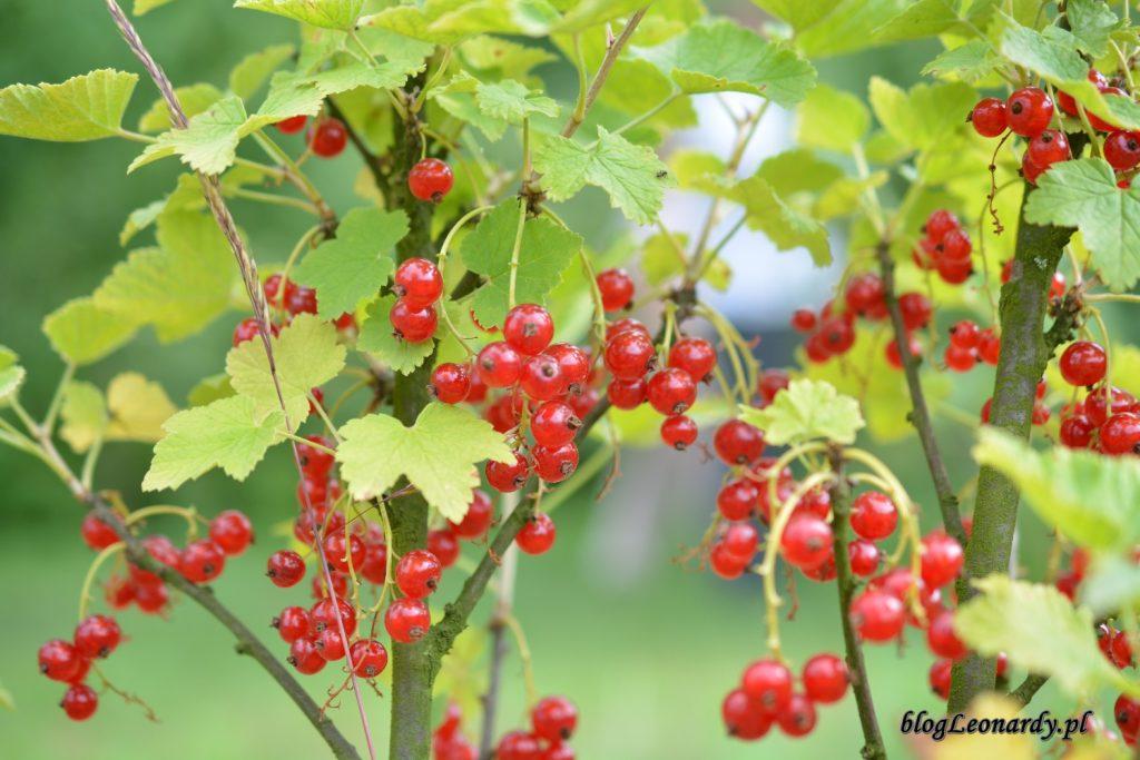 letnie owoce - porzeczki