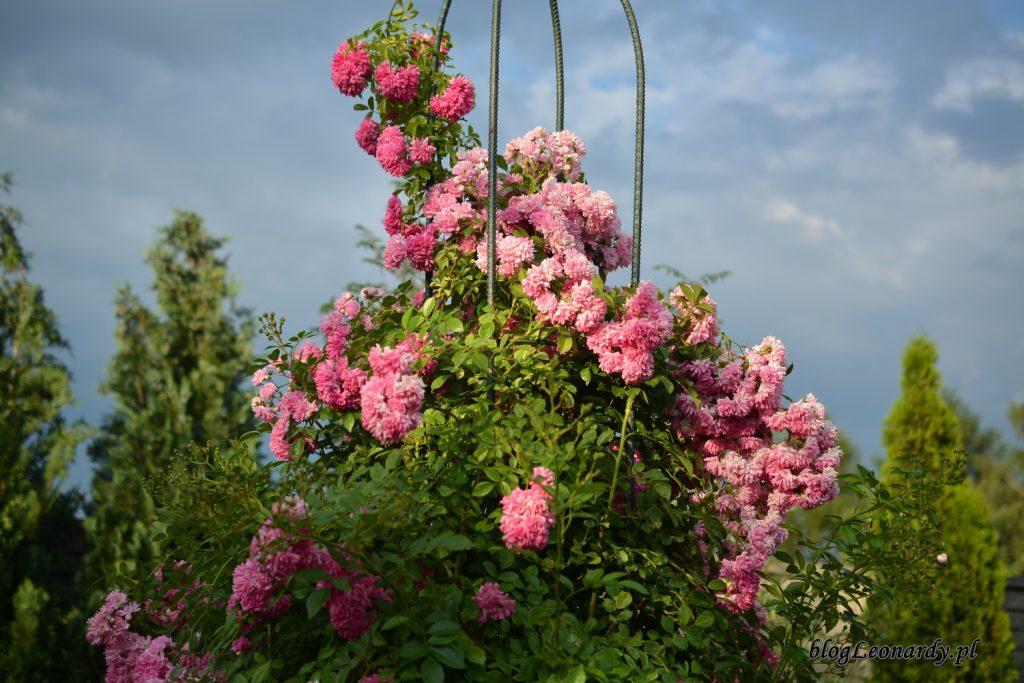 róża super dorothy