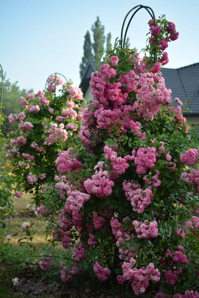 kopczykowanie róż - róże pnące