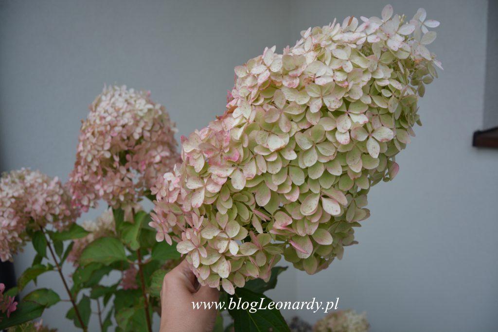 35 tydzień kwiatostan phantom