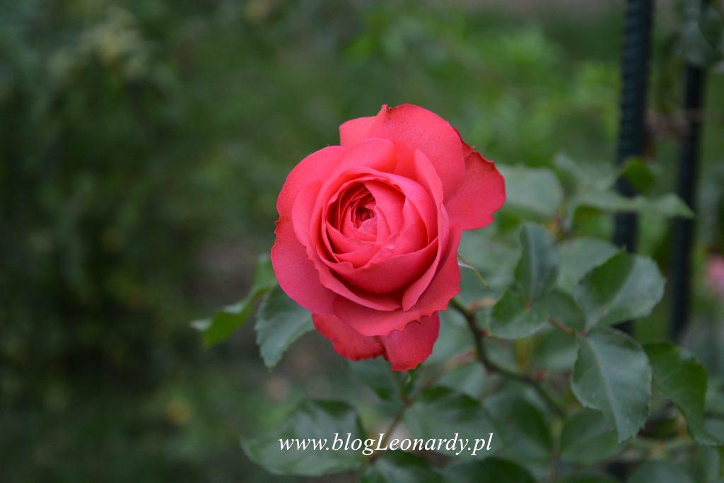 35 tydzień rosanna