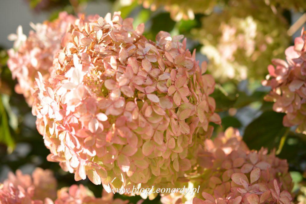 kwiatostan-phantom