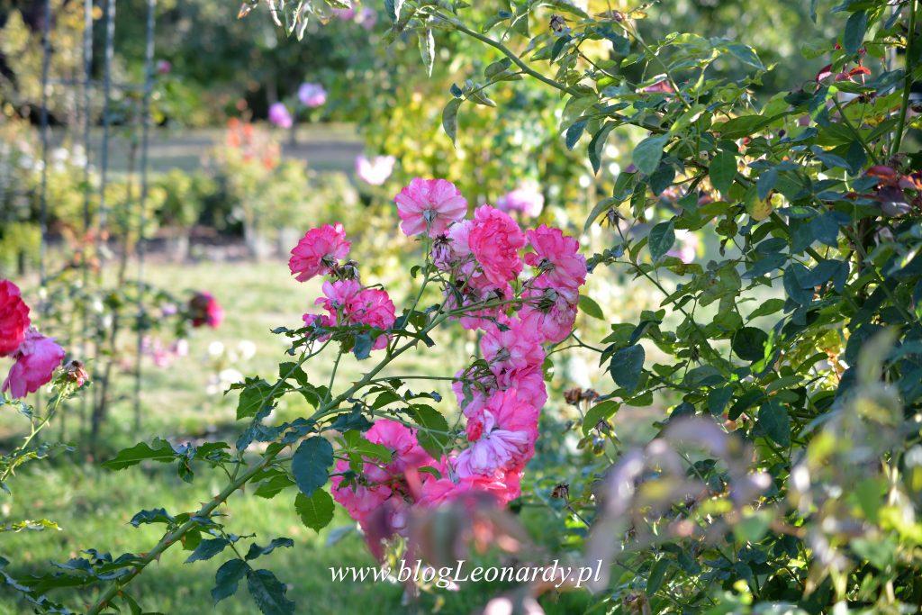 rosarium-uetersen-kwiatostan