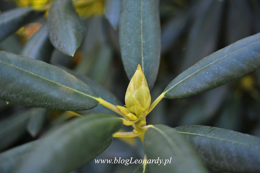 pąk kwiatowy rododendrona