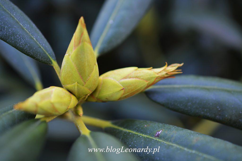 pąki rododendronów