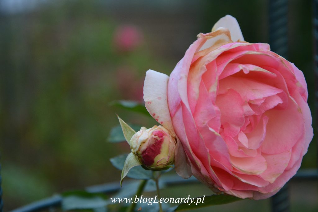 eden-rose-85