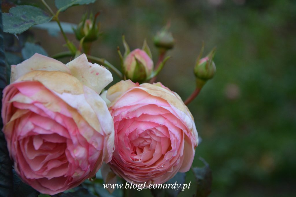 eden-rose-85-jesienia