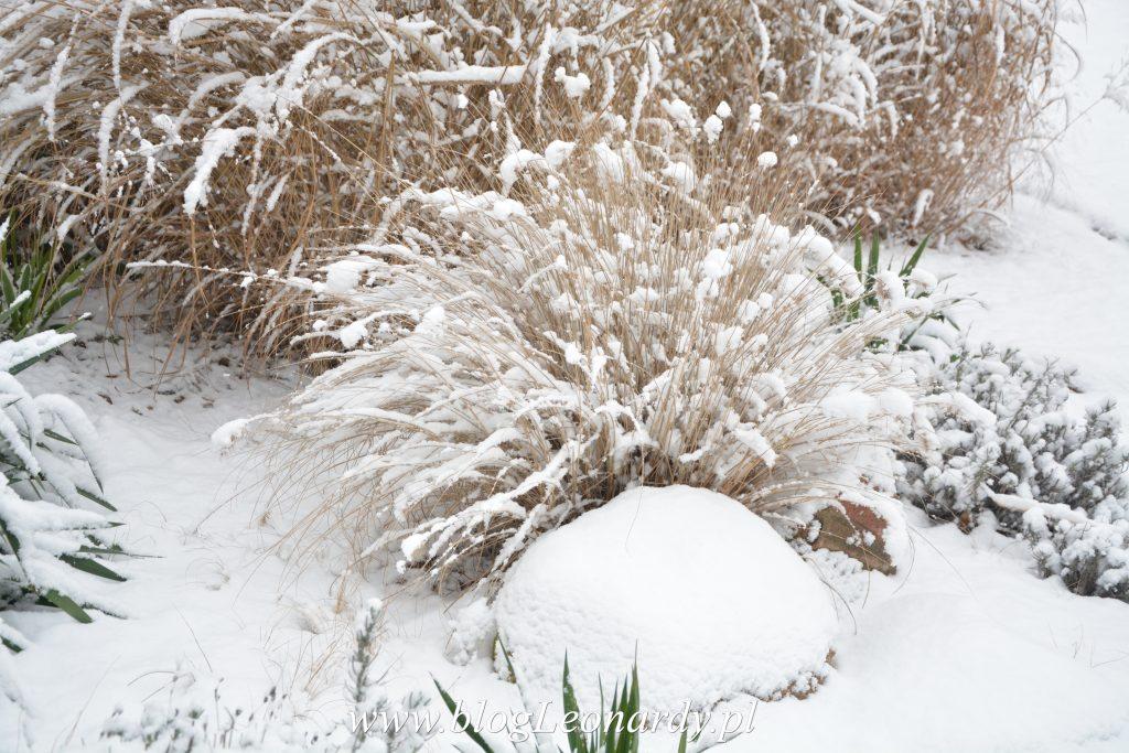 rozplenica-pod-sniegiem