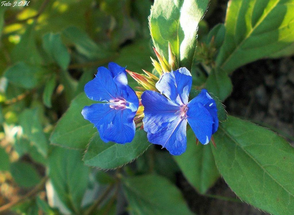 zawciągowiec kwiaty