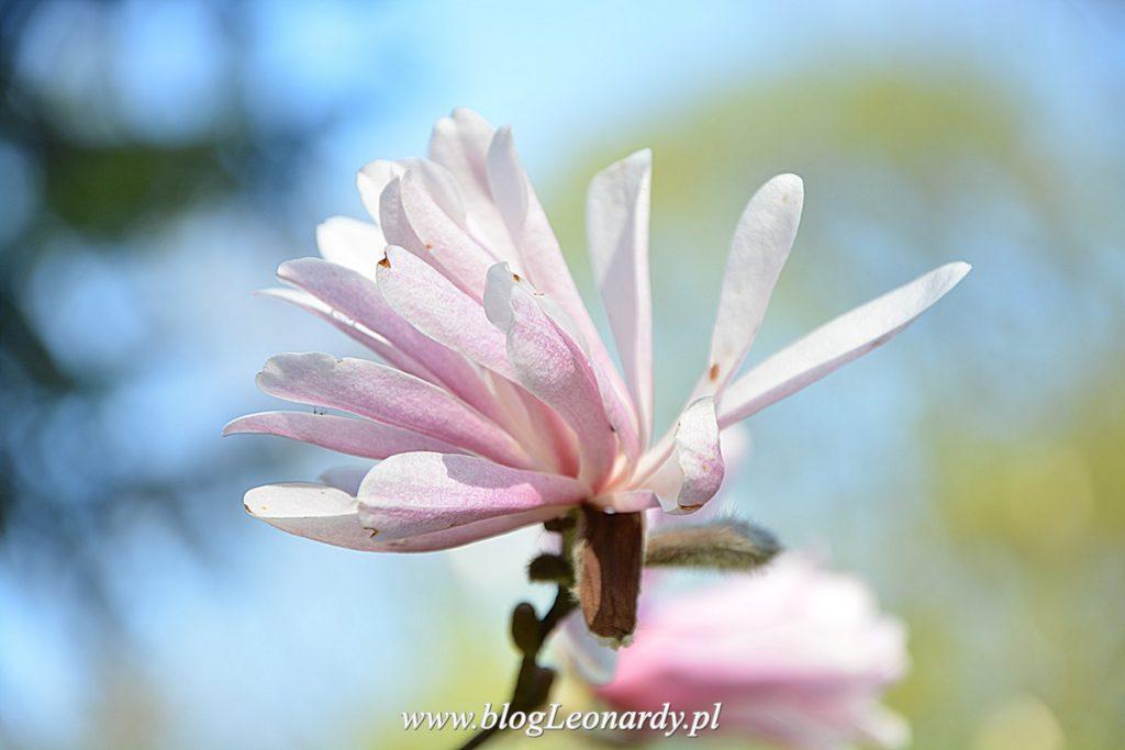 magnolia Magnolie W Arboretum malinowym zabawy