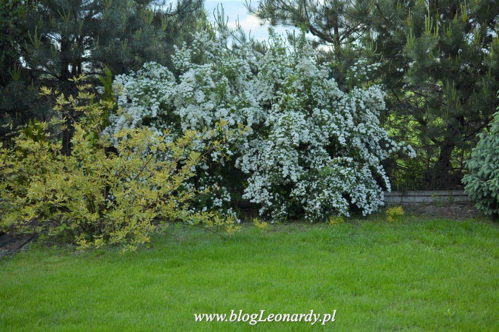 trawnik jako tło dla kwitnących