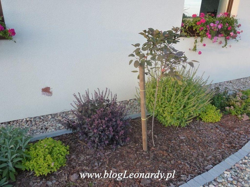 zioła - bazylia w ogrodzie