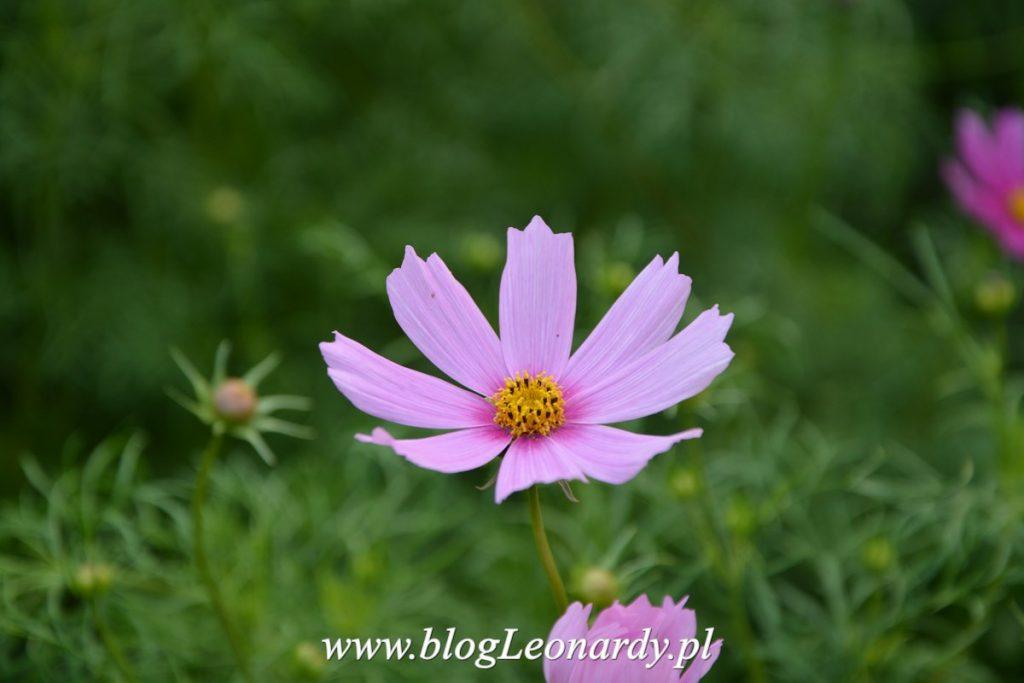 terminy wysiewu nasion kwiatów jednorocznych