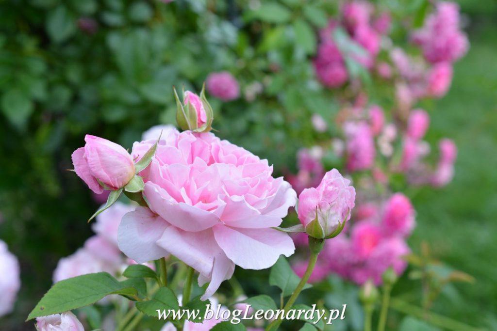 przycinanie róż po kwitnieniu