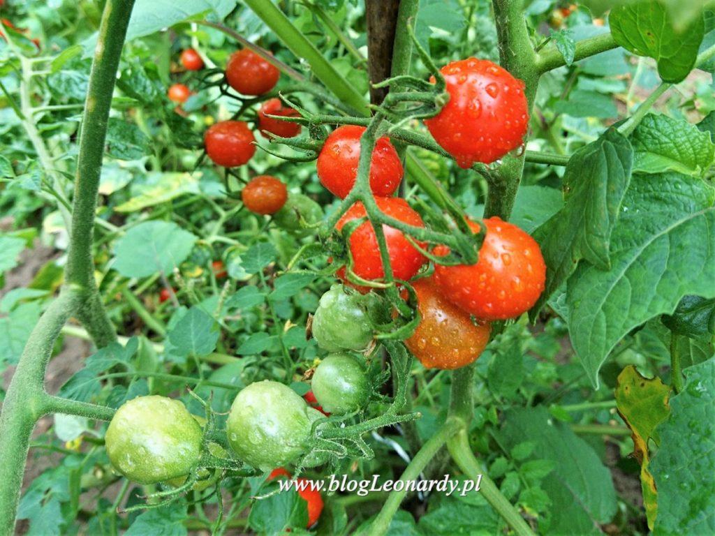 terminy wysiewu warzyw - pomidory