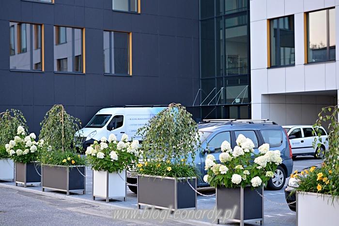 białe kwiaty brukowa w Łodzi