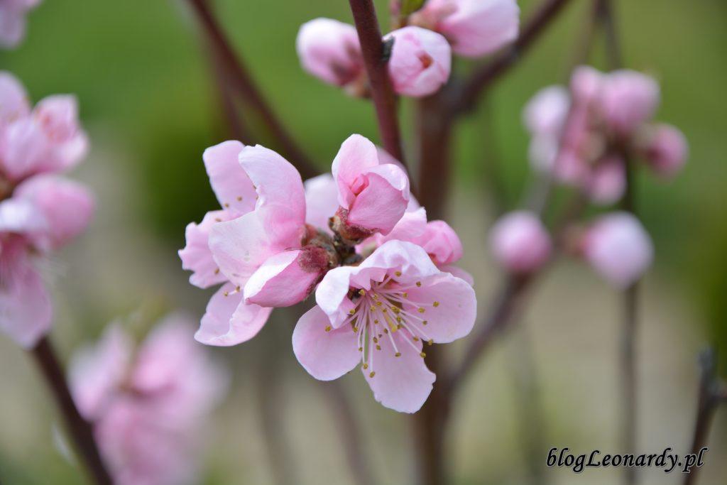 brzoskwinia 3