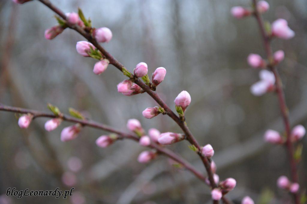 nektaryna