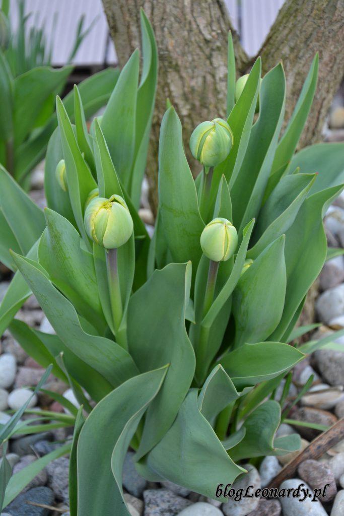tulipany 1
