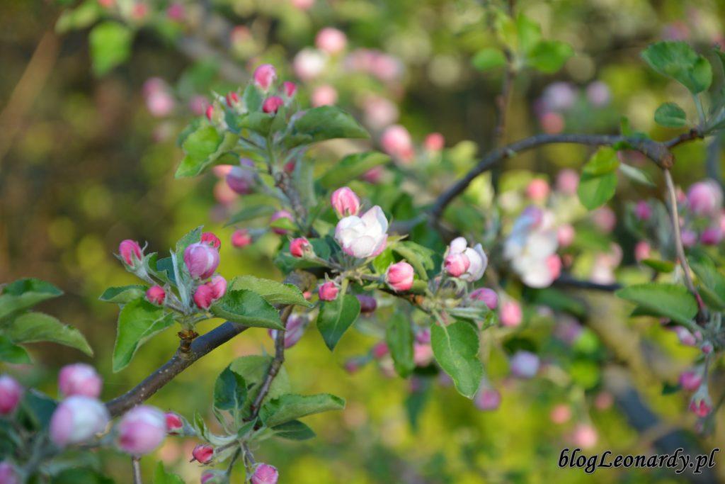owocowo - jabloń 1