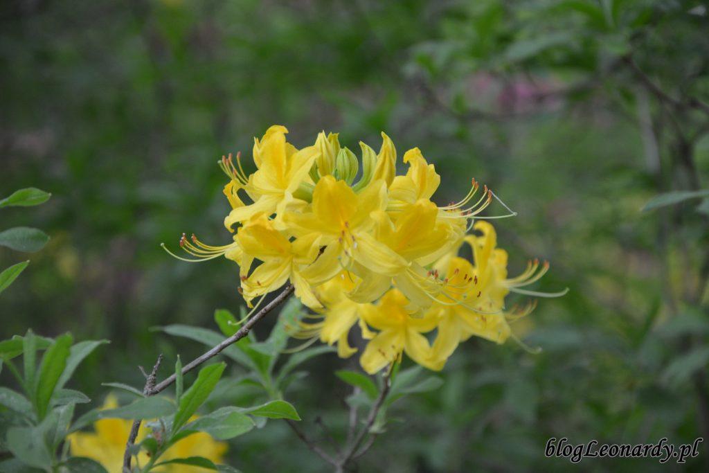 różanecznik żółty (rhododendron luteum sweet) 3