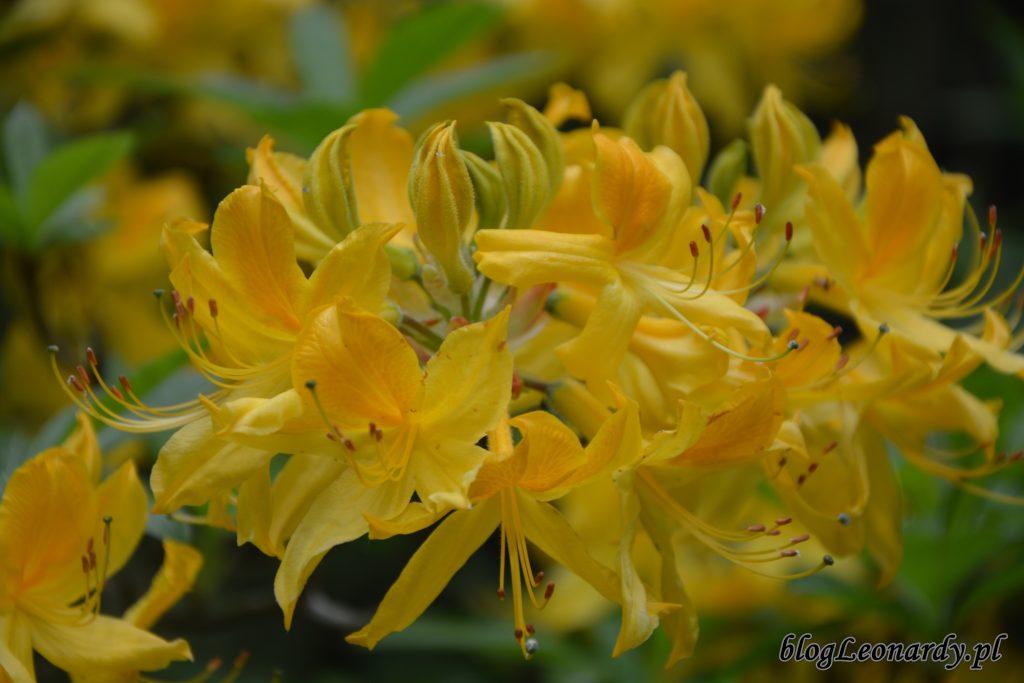 różanecznik żółty (rhododendron luteum sweet) 6