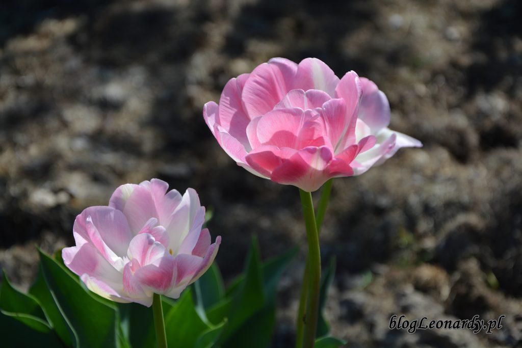 tulipan 3