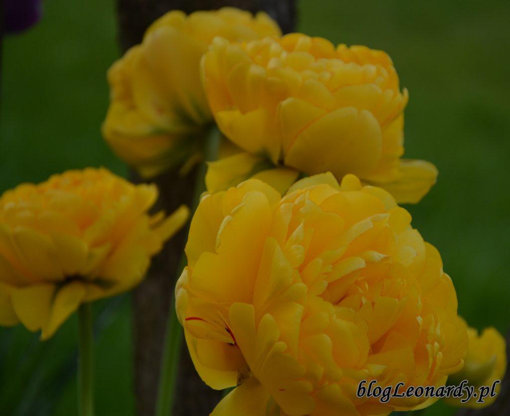 tulipany żółte pełne 2