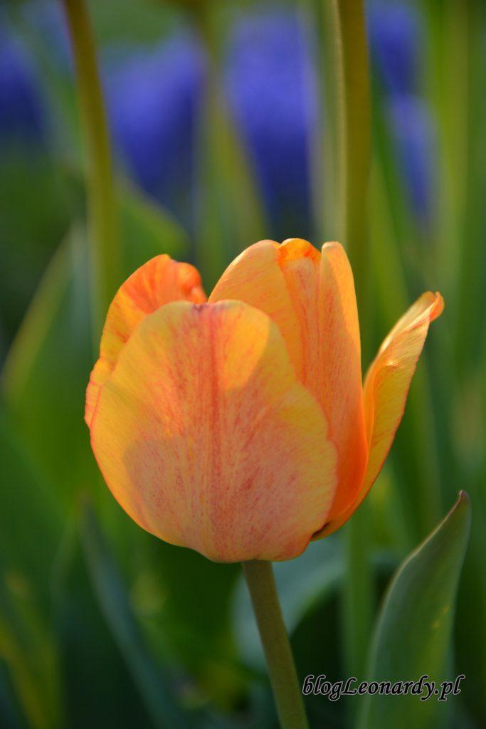 tulipany herbaciane 1