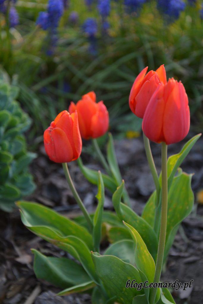 tulipany pomarańczowe 1