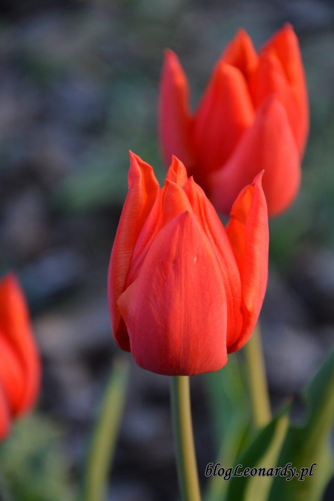 tulipany pomarańczowe 2