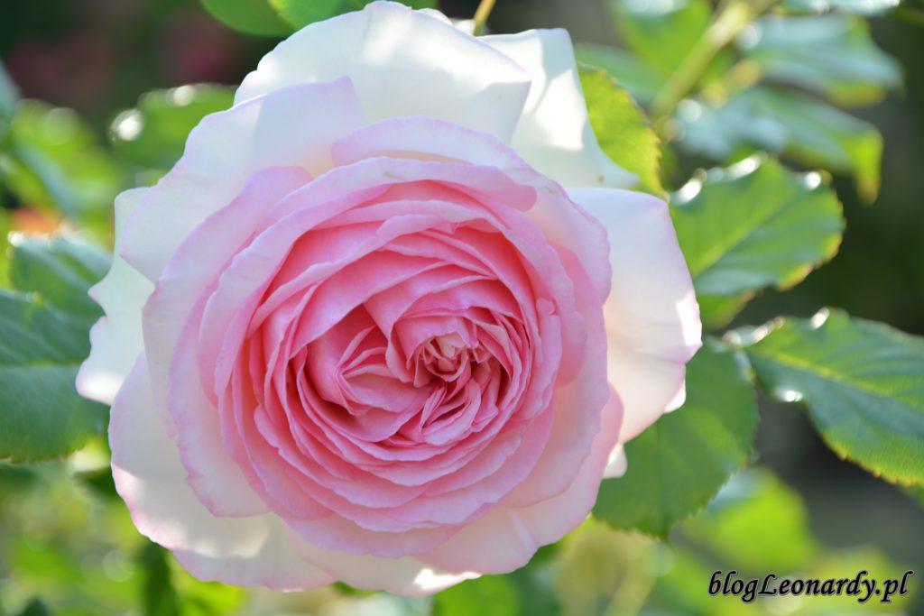 Eden rose 85 (11)