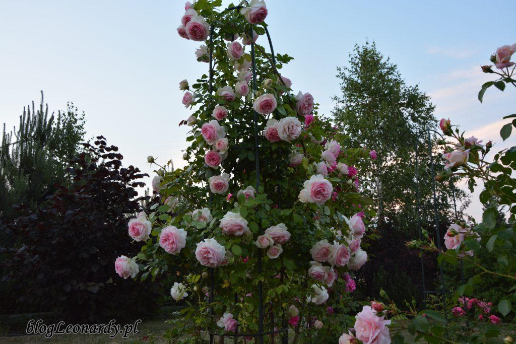 Eden rose 85 (12)