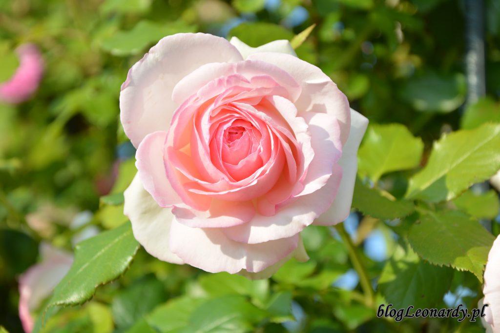 Eden rose 85 (3)