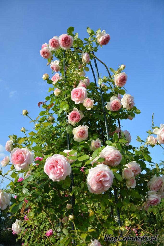 Eden rose 85 (4)