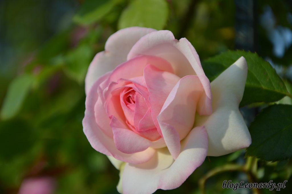 Eden rose 85 (6)
