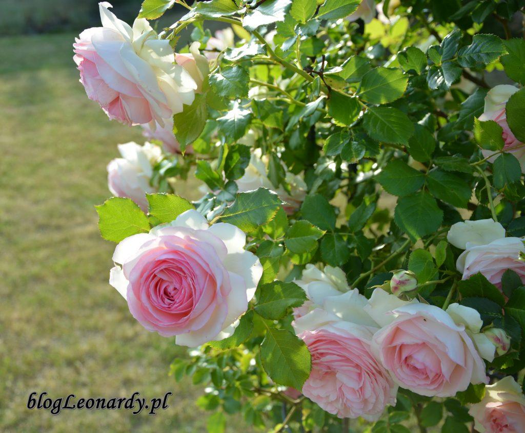 Eden rose 85 (7)