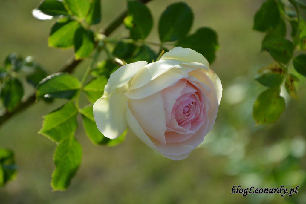 Eden rose 85 (8)