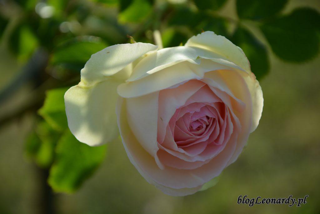 Eden rose 85 (9)