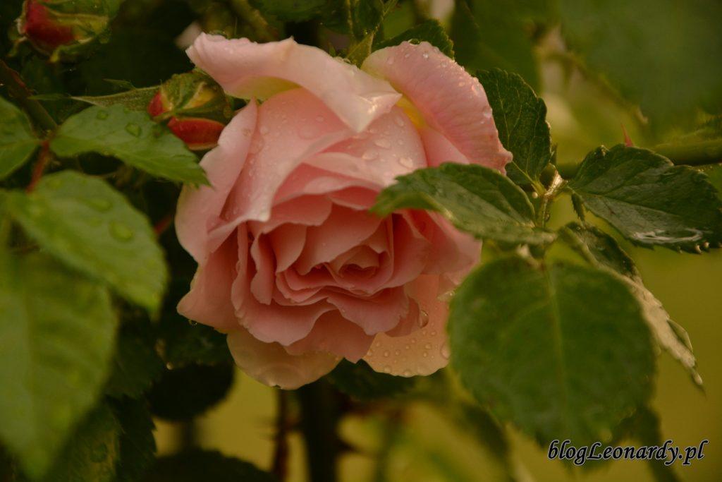 Róża compassion