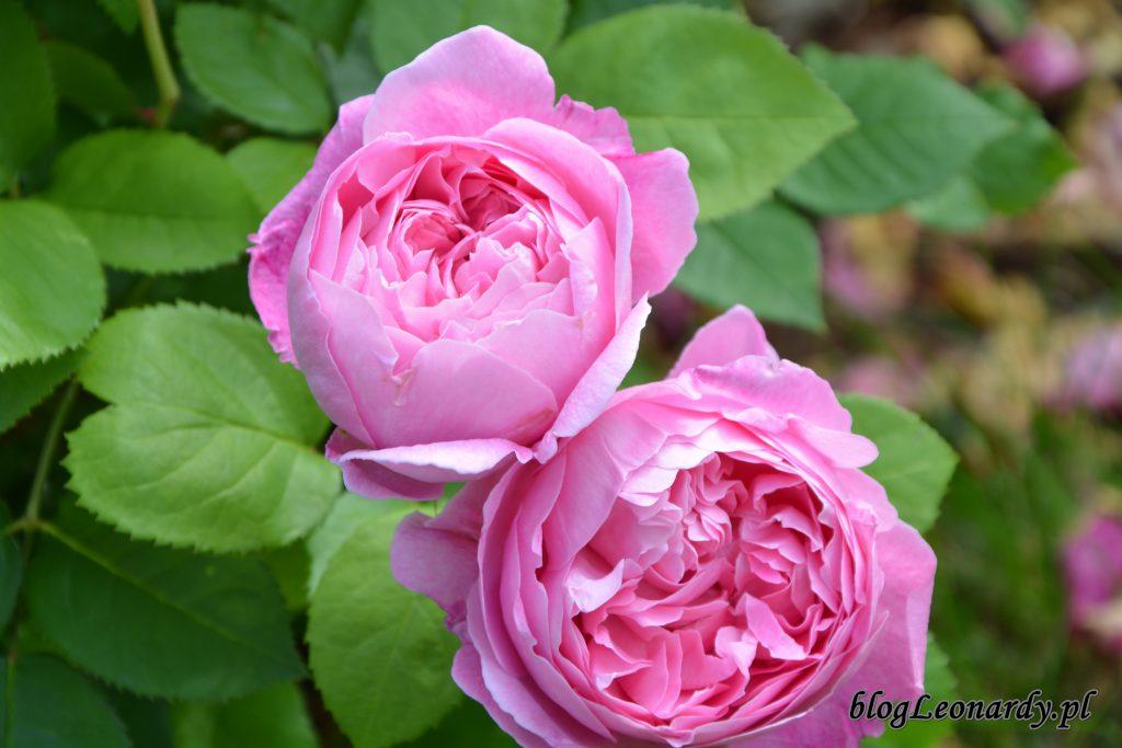 mery rose