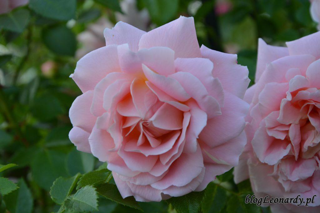 róża pnąca powtarzająca