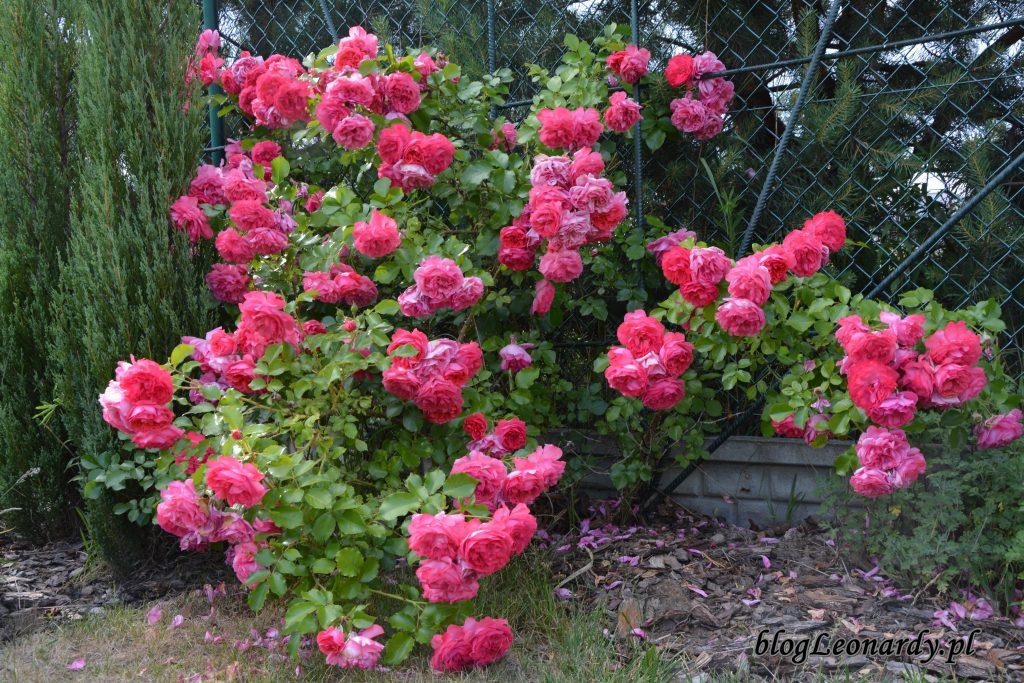 rosarium uetersen